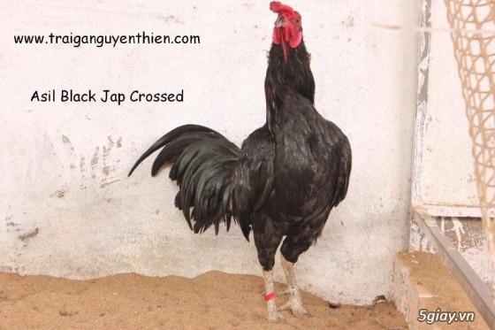 Trại gà Nguyễn Thiện - Nhập khẩu các giống gà đá trên Thế Giới - 14