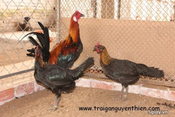 Trại gà Nguyễn Thiện - Nhập khẩu các giống gà đá trên Thế Giới - 3