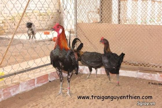 Trại gà Nguyễn Thiện - Nhập khẩu các giống gà đá trên Thế Giới - 2