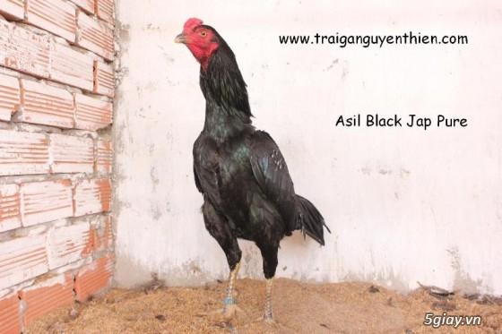 Trại gà Nguyễn Thiện - Nhập khẩu các giống gà đá trên Thế Giới - 13