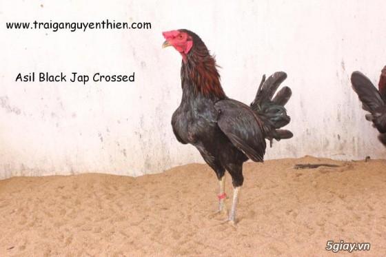 Trại gà Nguyễn Thiện - Nhập khẩu các giống gà đá trên Thế Giới - 15