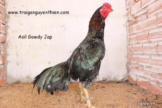 Trại gà Nguyễn Thiện - Nhập khẩu các giống gà đá trên Thế Giới - 9