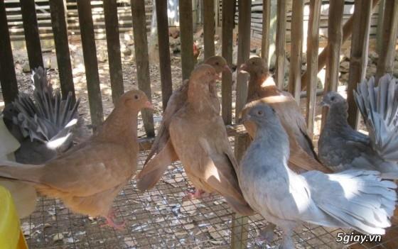 Bán bồ câu gà mỹ tại đồng nai - 1