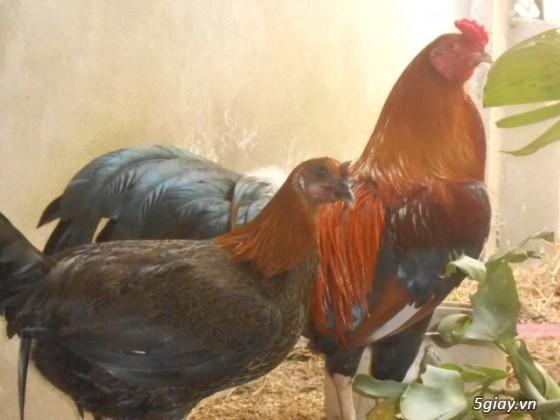 LAI VUNG _GÀ nòi MỸ_các loại gà LAI cho ae đá tiền - 29