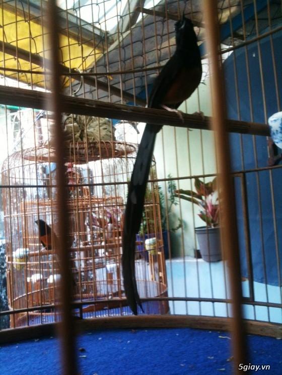 PHONG LỬA - Chuyên mua bán chim chích chòe lửa ! - 9