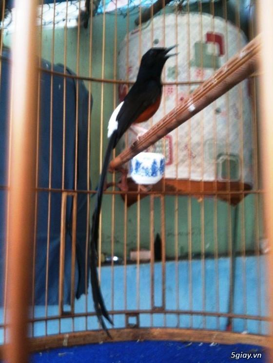 PHONG LỬA - Chuyên mua bán chim chích chòe lửa ! - 10