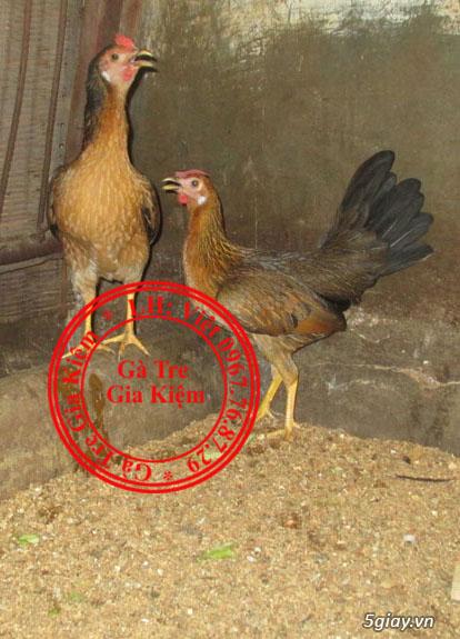 Bán gà mái tre lai mỹ, asil, peru. Bổn gà tốt, giá hợp lý. - 24