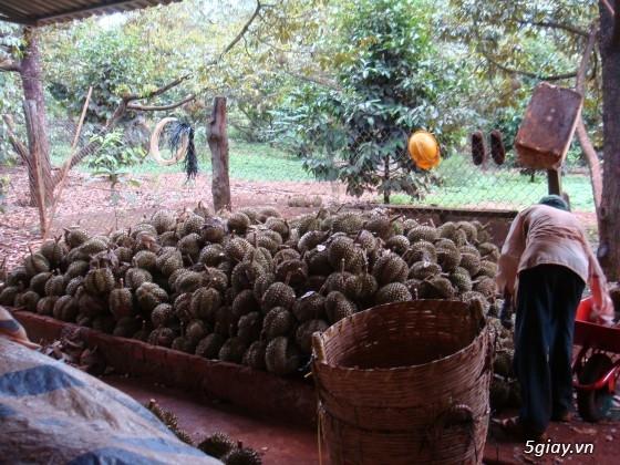 Sầu riêng Ba Đảo - CHÍN CÂY 100% KHÔNG THUỐC - Đến hẹn lại lên - 4