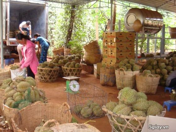 Sầu riêng Ba Đảo - CHÍN CÂY 100% KHÔNG THUỐC - Đến hẹn lại lên - 1