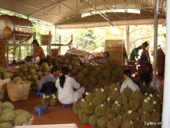 Sầu riêng Ba Đảo - CHÍN CÂY 100% KHÔNG THUỐC - Đến hẹn lại lên - 2
