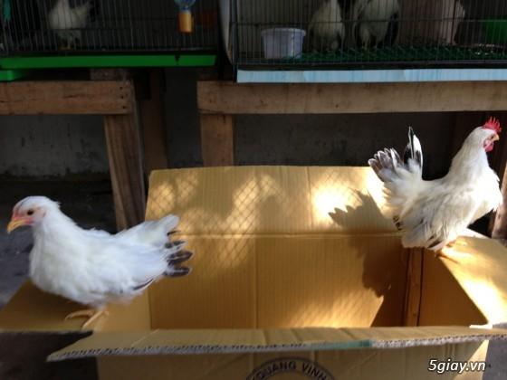 Q6 - Cần bán gà thái chuối tuyết 2-3 tháng tuổi - 3