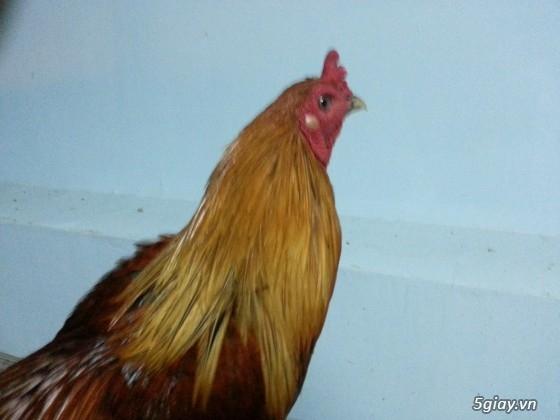 gà nọc