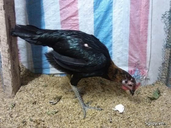 bán gà peru rặc , peru lai mỹ, gà jap - 39
