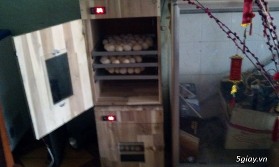 Gà serama & máy ấp trứng fox 1004   ............. - 3