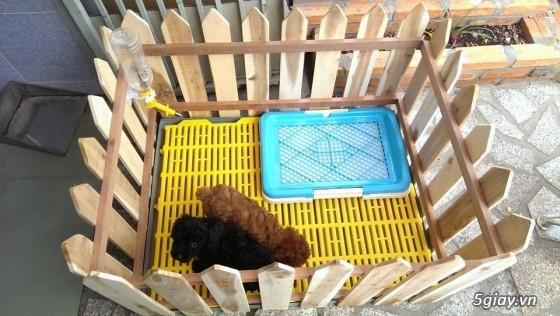 Chuyên bán chó poodle tiny HCM - 13