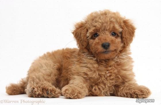 Chuyên bán chó poodle tiny HCM - 6