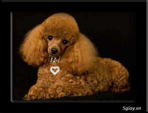 Chuyên bán chó poodle tiny HCM