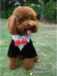 Chuyên bán chó poodle tiny HCM - 9