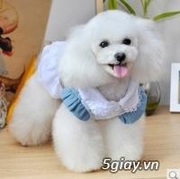 Chuyên bán chó poodle tiny HCM - 8