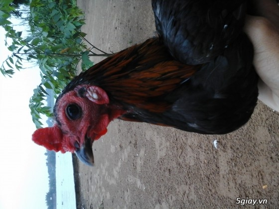cần bán gà chia lai peru rẻ - 3