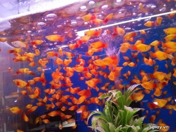 Bình thạnh-Cá cảnh Trung-nguyễn,đủ loại cá cảnh đẹp nhất hiện nay ! - 32