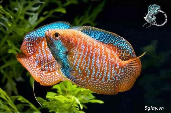 Bình thạnh-Cá cảnh Trung-nguyễn,đủ loại cá cảnh đẹp nhất hiện nay ! - 12