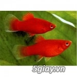 Bình thạnh-Cá cảnh Trung-nguyễn,đủ loại cá cảnh đẹp nhất hiện nay ! - 14