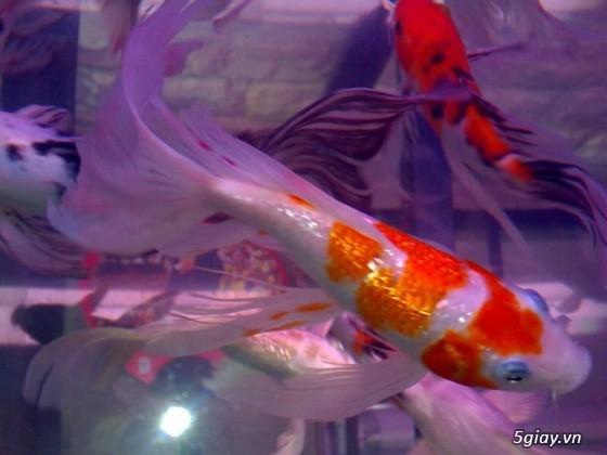 Bình thạnh-Cá cảnh Trung-nguyễn,đủ loại cá cảnh đẹp nhất hiện nay ! - 17