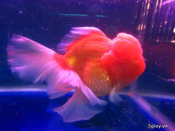 Bình thạnh-Cá cảnh Trung-nguyễn,đủ loại cá cảnh đẹp nhất hiện nay ! - 21
