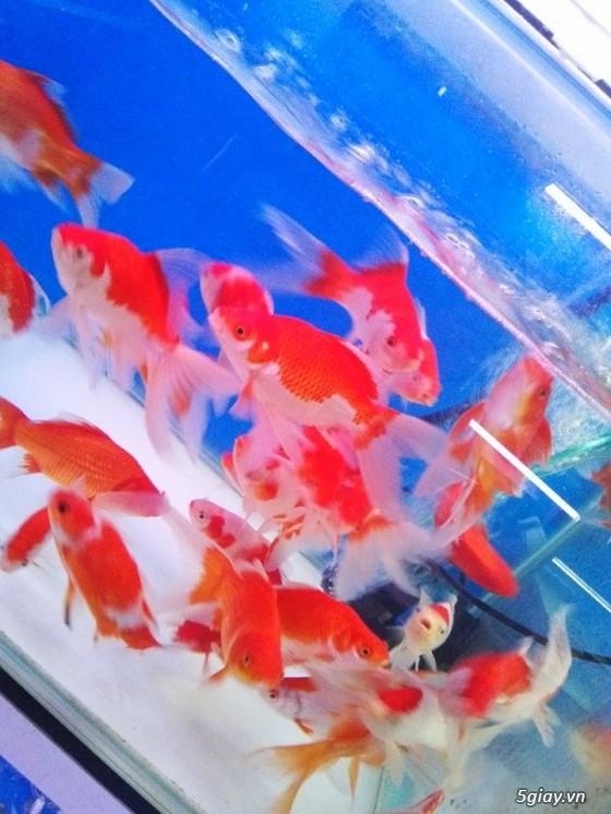 Bình thạnh-Cá cảnh Trung-nguyễn,đủ loại cá cảnh đẹp nhất hiện nay ! - 18