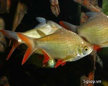 Bình thạnh-Cá cảnh Trung-nguyễn,đủ loại cá cảnh đẹp nhất hiện nay ! - 26