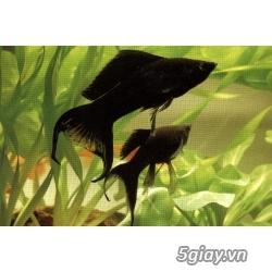 Bình thạnh-Cá cảnh Trung-nguyễn,đủ loại cá cảnh đẹp nhất hiện nay ! - 15
