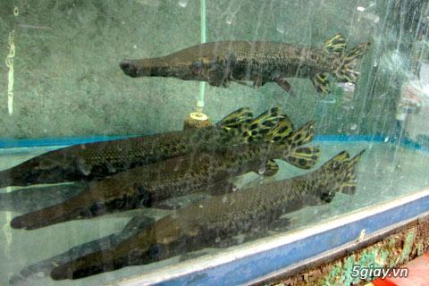 Bình thạnh-Cá cảnh Trung-nguyễn,đủ loại cá cảnh đẹp nhất hiện nay ! - 24