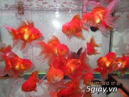 Bình thạnh-Cá cảnh Trung-nguyễn,đủ loại cá cảnh đẹp nhất hiện nay ! - 23