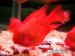 Bình thạnh-Cá cảnh Trung-nguyễn,đủ loại cá cảnh đẹp nhất hiện nay ! - 11