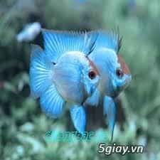 Bình thạnh-Cá cảnh Trung-nguyễn,đủ loại cá cảnh đẹp nhất hiện nay ! - 1