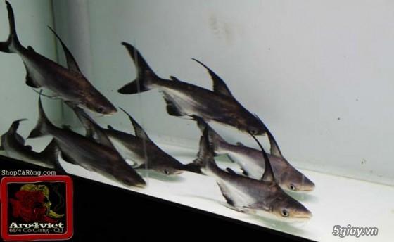 Bình thạnh-Cá cảnh Trung-nguyễn,đủ loại cá cảnh đẹp nhất hiện nay ! - 8