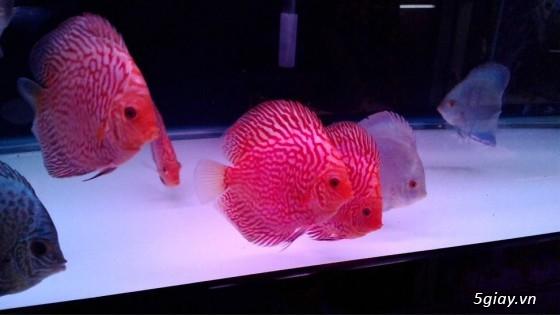 Bình thạnh-Cá cảnh Trung-nguyễn,đủ loại cá cảnh đẹp nhất hiện nay ! - 25