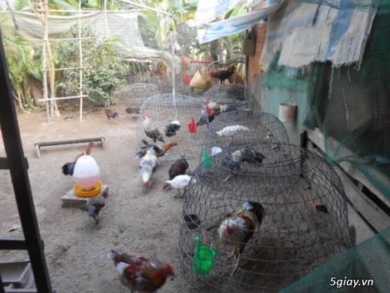 LAI VUNG _GÀ nòi MỸ_các loại gà LAI cho ae đá tiền - 36