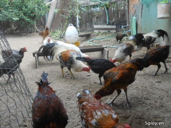 LAI VUNG _GÀ nòi MỸ_các loại gà LAI cho ae đá tiền - 34