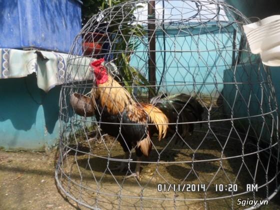 Cần mua gà trống tre cản mái - HCM