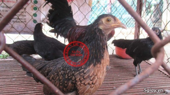 Bán gà mái tre lai mỹ, asil, peru. Bổn gà tốt, giá hợp lý. - 14