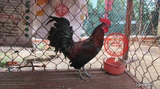 Bán gà mái tre lai mỹ, asil, peru. Bổn gà tốt, giá hợp lý. - 17