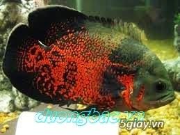Bình thạnh-Cá cảnh Trung-nguyễn,đủ loại cá cảnh đẹp nhất hiện nay ! - 9