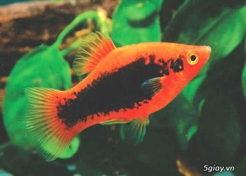 Bình thạnh-Cá cảnh Trung-nguyễn,đủ loại cá cảnh đẹp nhất hiện nay ! - 33