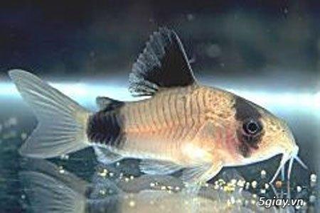 Bình thạnh-Cá cảnh Trung-nguyễn,đủ loại cá cảnh đẹp nhất hiện nay ! - 46