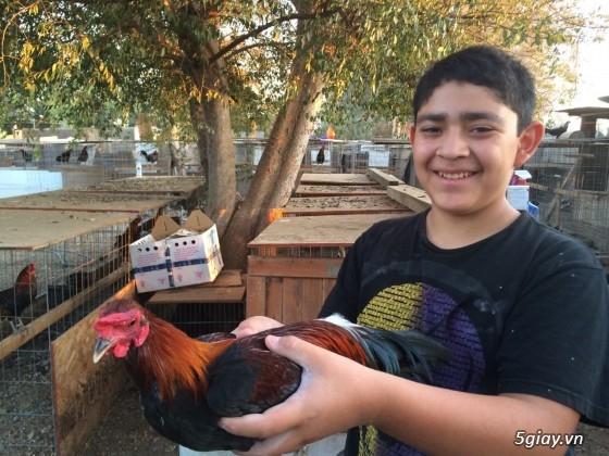 Q12 - Bán gà Mỹ, gà Peru, gà Mỹ lai, gà Peru lai - 19