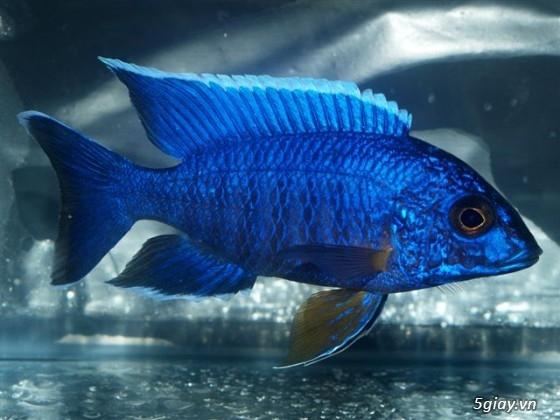 Bình thạnh-Cá cảnh Trung-nguyễn,đủ loại cá cảnh đẹp nhất hiện nay ! - 5