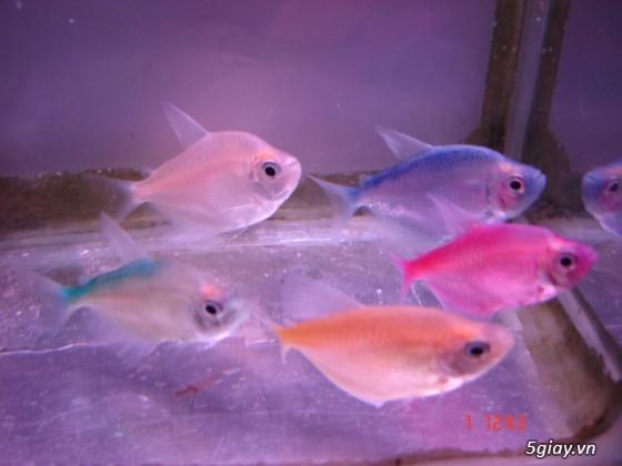 Bình thạnh-Cá cảnh Trung-nguyễn,đủ loại cá cảnh đẹp nhất hiện nay ! - 30