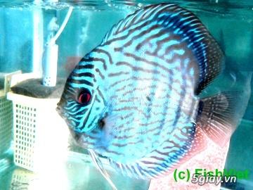 Bình thạnh-Cá cảnh Trung-nguyễn,đủ loại cá cảnh đẹp nhất hiện nay ! - 28